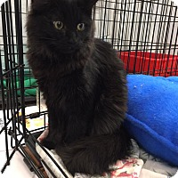 Domestic Longhair Kitten for adoption in CLEVELAND, Ohio - Bentley