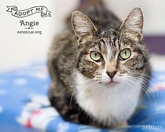 American Shorthair Cat for adoption in Phoenix, Arizona - Angie