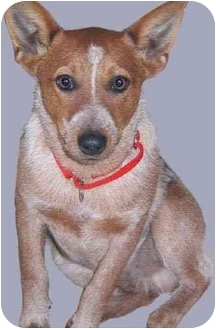 Australian Cattle Dog Puppy for adoption in Grass Valley, California - Wheaties