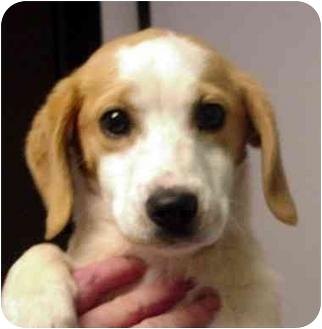 Beagle/Basset Hound Mix Puppy for adoption in Manassas, Virginia - sassafrass