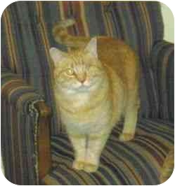 Domestic Shorthair Cat for adoption in Lake Charles, Louisiana - My Girl