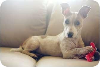 Smooth Fox Terrier/Corgi Mix Dog for adoption in Portland, Oregon - Dottie
