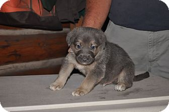 German Shepherd Dog Mix Puppy for adoption in Hamilton, Montana - Blue