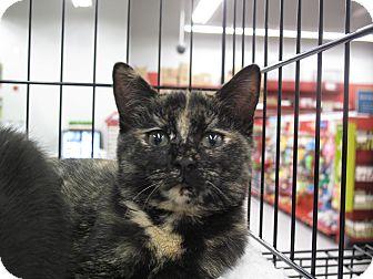 Domestic Shorthair Kitten for adoption in Port Republic, Maryland - Rosebud