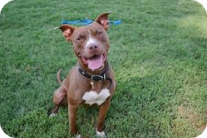 Pit Bull Terrier Mix Dog for adoption in Stillwater, Oklahoma - Champ