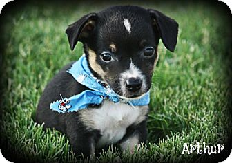 Jack Russell Terrier/Chihuahua Mix Puppy for adoption in Cranford, New Jersey - .