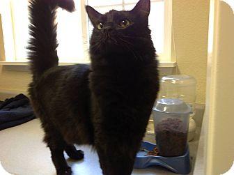 Domestic Mediumhair Cat for adoption in Yuba City, California - Chevy