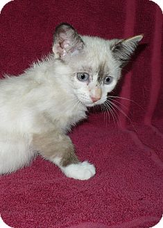 Snowshoe Kitten for adoption in Pueblo West, Colorado - A.J
