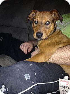 Shepherd (Unknown Type) Mix Dog for adoption in Sunset Hills, Missouri - Edgar