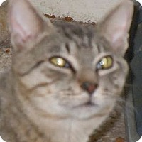 Domestic Shorthair Cat for adoption in Jacksonville, North Carolina - Nicky