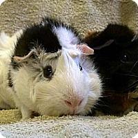 Adopt A Pet :: Dashing and Darling - Lewisville, TX
