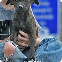 Adopt A Pet :: Dina - Spring City, PA