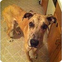 Adopt A Pet :: Atlas - Inver Grove Heights, MN