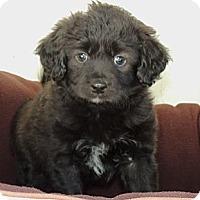 Adopt A Pet :: Hagrid - La Habra Heights, CA