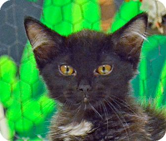 Domestic Mediumhair Cat for adoption in Searcy, Arkansas - Styles