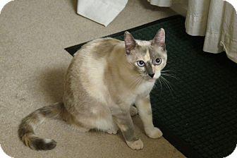 Siamese Cat for adoption in Tillamook, Oregon - Grace
