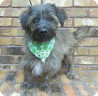 Cairn Terrier Mix Dog for adoption in Benbrook, Texas - Mr. Wiggles
