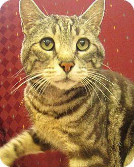 Domestic Shorthair Cat for adoption in Lloydminster, Alberta - Gunner