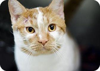 Domestic Shorthair Cat for adoption in Adrian, Michigan - Daryl