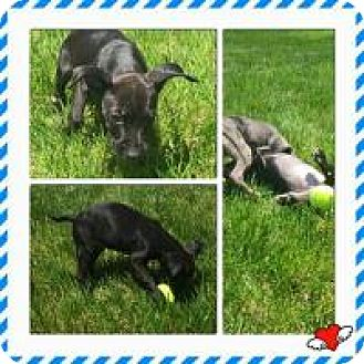Labrador Retriever/Terrier (Unknown Type, Medium) Mix Puppy for adoption in Marlton, New Jersey - Adorable Addy