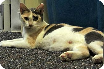 Calico Cat for adoption in Sullivan, Missouri - Sparkles