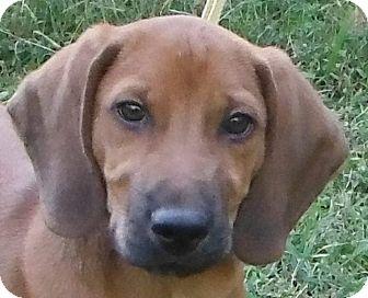 Beagle Mix Puppy for adoption in Cedartown, Georgia - Buck