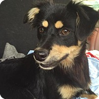 Adopt A Pet :: Cheeky - Brattleboro, VT