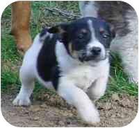 Spaniel (Unknown Type)/Australian Shepherd Mix Puppy for adoption in all of, Connecticut - Marci