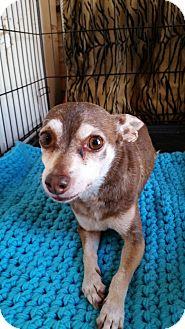 Chihuahua Dog for adoption in TAHOKA, Texas - STORMEE
