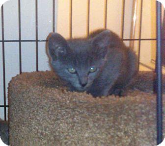Russian Blue Kitten for adoption in Alamo, California - Austin