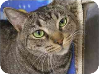 Domestic Shorthair Cat for adoption in Scottsdale, Arizona - Tabitha