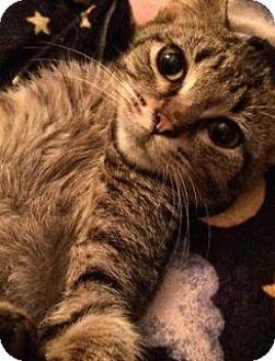 Domestic Shorthair Kitten for adoption in Toledo, Ohio - Georgina
