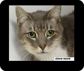 Domestic Shorthair Cat for adoption in Red Bluff, California - MEOW MEOW