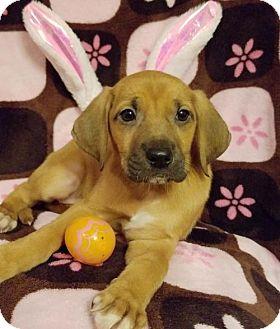 Labrador Retriever Mix Puppy for adoption in Elkton, Maryland - Quinn