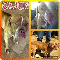 Adopt A Pet :: Cajun - Scottsdale, AZ