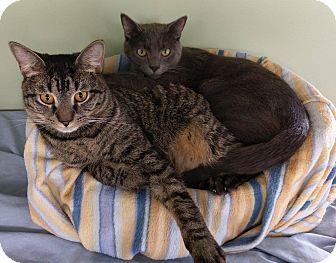 Domestic Shorthair Kitten for adoption in Springfield, Vermont - James and Freddy