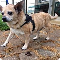 Adopt A Pet :: Brutus - Mechanicsburg, OH