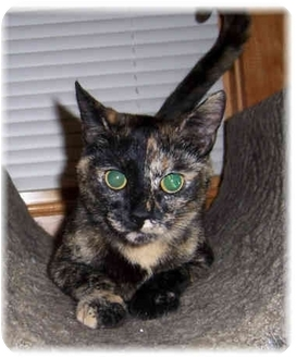 Domestic Shorthair Cat for adoption in Brighton, Michigan - Whitney