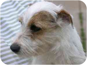 Jack Russell Terrier Dog for adoption in Thomasville, North Carolina - Tootsie