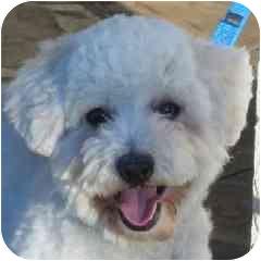 Bichon Frise Mix Puppy for adoption in La Costa, California - Vinnie