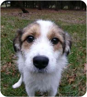 Fox Terrier (Wirehaired)/Parson Russell Terrier Mix Dog for adoption in Mocksville, North Carolina - Trixie
