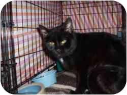 Domestic Shorthair Cat for adoption in Hamburg, New York - Lion