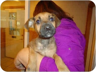 Shepherd (Unknown Type) Mix Puppy for adoption in Broadway, New Jersey - Guns 'N Roses