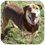 Photo 1 - Doberman Pinscher/Labrador Retriever Mix Dog for adoption in Ft. Pierce, Florida - Daisey