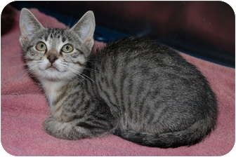 Domestic Shorthair Kitten for adoption in Putnam Hall, Florida - Bertie