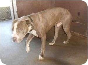 American Pit Bull Terrier Mix Dog for adoption in Yuba City, California - *Zeke