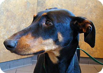 Doberman Pinscher Dog for adoption in Las Vegas, Nevada - Sarah
