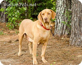 Vizsla/Labrador Retriever Mix Dog for adoption in Monroe, Georgia - SOPHIE