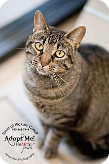 Domestic Shorthair Cat for adoption in Hickory Creek, Texas - Scarlett