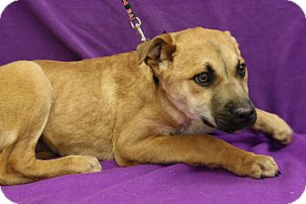 Retriever (Unknown Type)/Shepherd (Unknown Type) Mix Puppy for adoption in Broomfield, Colorado - Condor